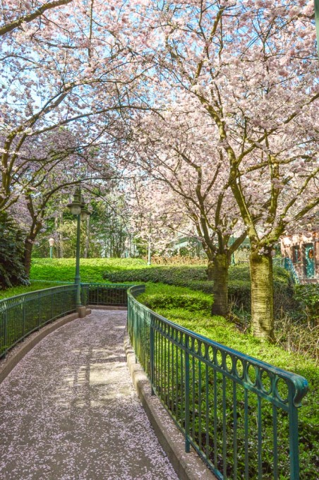 Cherry Blossom Sakura Trees at Disneyland Paris