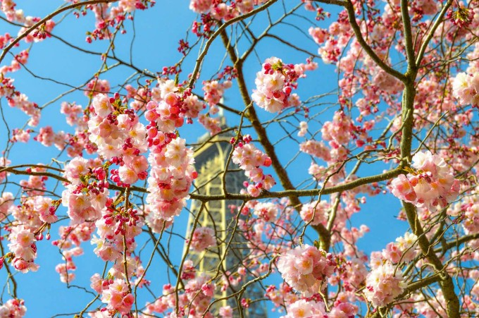 Paris Cherry Blossoms by Eiffel Tower