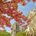 Paris Cherry Blossoms by Notre Dame