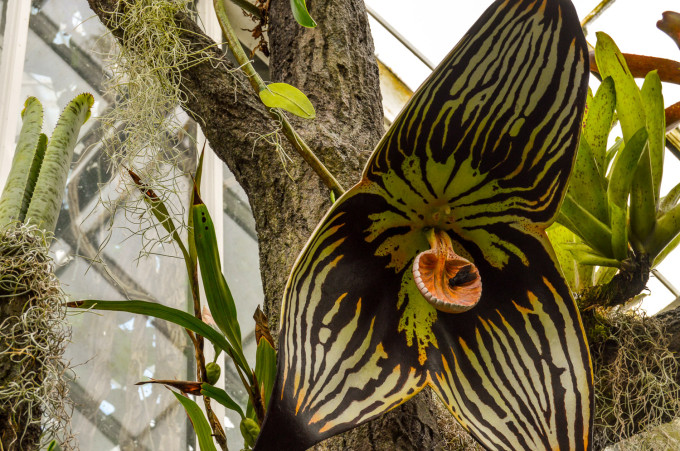 San Francisco Conservatory of Flowers Dracula Orchid