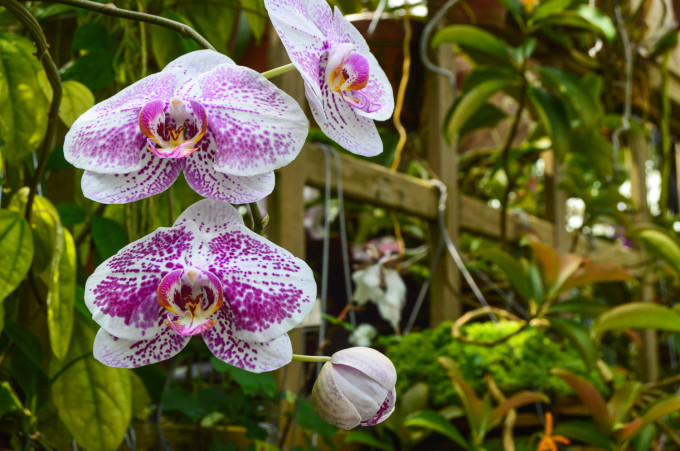 San Francisco Conservatory of Flowers Orchids